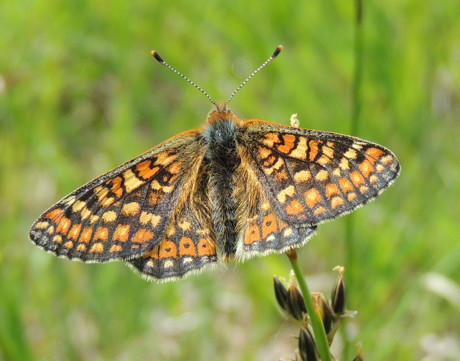 Marsh-fritillary. Rob-Parry